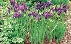 Trouble-free trio: the vivid Siberian iris 'Ruffled Velvet'contrasts wonderfully with the yellow of Trollius x cultorum and soft mauve Lunaria rediviva