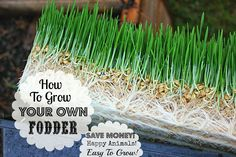 sprouting grains for livestock feed | Fodder Tutorial! AKA: How To Sprout Grain for Livestock!