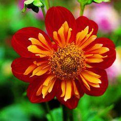 t. tenuifolia - starfire mix marigold