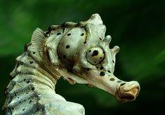 sea horse close up | Big-velly-Sea-horse-3.jpg