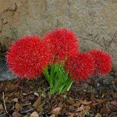 Scadoxus multiflorus subsp. multiflorus (Fire-ball lily)