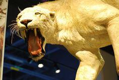Genetic Clues from Sabercat Bones