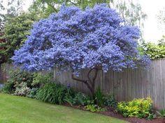 Ceanothus Tree.