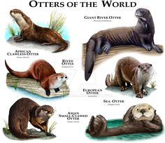 A beautiful Otter species of the world poster. A great educational gift or present for anyone who loves otters in all their forms. Animals Of The World, Animals And Pets, Baby Animals, Funny Animals, Cute Animals, Baby Giraffes, Wild Animals, Giant River Otter, Otter Love