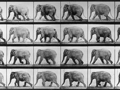 Muybridge elephant