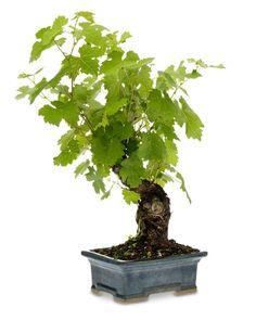 Grapevine Bonsai Tree.
