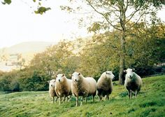 Sheep in the English Countryside