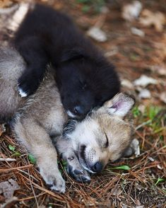 I love animals. Especially horses and puppies. So, except for 1 momentary lapse in judgement, animals are what you will see here. Wolf Photos, Wolf Pictures, Funny Animal Pictures, Beautiful Wolves, Animals Beautiful, Beautiful Dogs, Sleeping Wolf, Baby Animals, Cute Animals