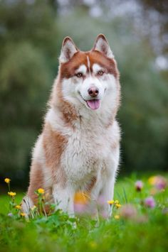 Wonderful All About The Siberian Husky Ideas. Prodigious All About The Siberian Husky Ideas. Alaskan Husky, Alaskan Malamute, Siberian Husky Names, Siberian Huskies, Husky Tumblr, Sweet Dogs, Golden Retriever Rescue, Most Beautiful Dogs, Rottweiler Puppies