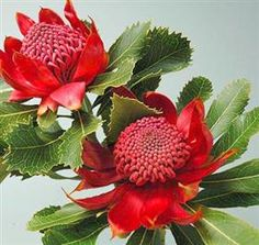 """Mayesh Wholesale Florists - Search our Flower Library - Pincushion Protea """"Waratah Red"""" Orange Wedding Flowers, Exotic Flowers, Love Flowers, Beautiful Flowers, Australian Wildflowers, Australian Native Flowers, Australian Plants, Waratah Flower, Dahlia Flower"""