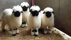 Valais Blacknose Breed Standards Guide History of the Blacknose The Blacknose sheep originates from the Valais canton of Switzerland. Native to the Upper Valais region, the Blacknose graze in the Alps in the summer months June-September. Farm Animals, Animals And Pets, Funny Animals, Cute Animals, Wild Animals, Cute Creatures, Beautiful Creatures, Animals Beautiful, Valais Blacknose Sheep