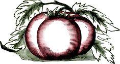 Free Public Domain Tomato Images