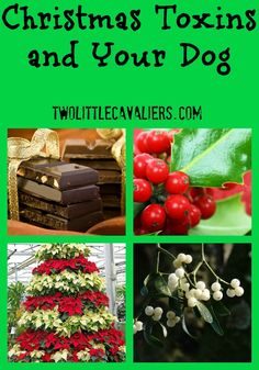 Christmas toxins and your dog - These 4 common items found during the Christmas season could be deadly to your dog.  http://twolittlecavaliers.com/2012/11/christmas-toxins-and-your-dog.html#