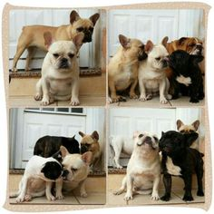French Bulldog Family, Famille bouledogues français / French bulldog family - Regeneratti E Oliveira Kennel