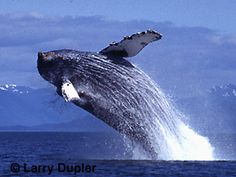 I would love to go Whale watching in Alaska (or anywhere) someday.