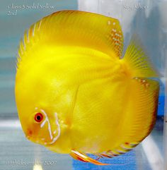 1000 Images About Colorful Chiclids And Delightful Discus