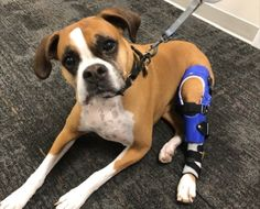 Mia has severe arthritis from chronic CCL injuries. She got her brace to help alleviate the pain in her knee. Acl Brace, Knee Brace, Dog Braces, Orthotics And Prosthetics, Anterior Cruciate Ligament, Severe Arthritis, Surgery Recovery, Pittsburgh, Boxer