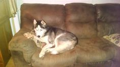 Rockford, our couch tater foster. Husky Rescue, The Fosters, Couch, Dogs, Animals, Settee, Animales, Sofa, Animaux