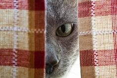 Lily peeking out of the curtains