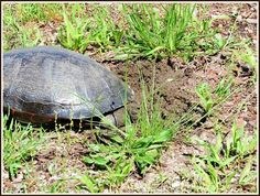 Red-bellied Turtle getting ready to lay her eggs - Cloverdale Park 6-8-16