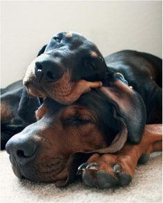 Theres a time of day when the truly terrifying potential of the Doberman is awakened. Obviously, that time is nap time! Cute Puppies, Cute Dogs, Dogs And Puppies, Doggies, Weimaraner, Bloodhound, Funny Animals, Cute Animals, Cocker