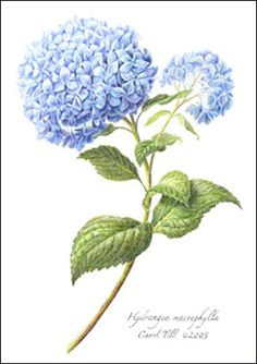 hydrangeas blue - botanical prints