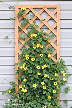 The gorgeous [Black-Eyed Susan Vine] is a little {ray of sunshine} for your yard!