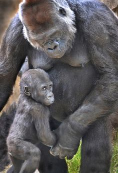 A helping hand | Gorilla mom Kokamo helps her nine month old son Monroe walk at the San Diego Zoo's Safari Park. The little guy has been a star attraction at the park.