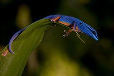 William's Dwarf Gecko / Electric Blue Dwarf Gecko ( Lygodactylus williamsi) male