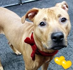 Manhattan Center ALLIE – A1060881 SPAYED FEMALE, BROWN, LABRADOR RETR / AMERICAN STAFF, 1 yr, 1 mo OWNER SUR – ONHOLDHERE, HOLD FOR ID Reason TOO MANY P Intake condition EXAM REQ Intake Date 12/18/2015 http://nycdogs.urgentpodr.org/allie-a1060881/