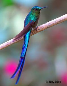 Hummingbird by Tony Beck