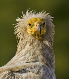 egyptian vulture by Murat Çalışkan  #birds #animal #birdPhotography #image #photo