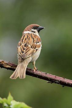 sparrow sitting - Sök på Google