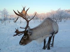 THIS is a reindeer.  Others on this site are actually various kinds of deer.