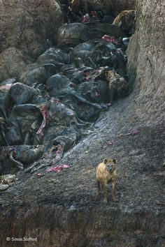 Clan of hyenas feeding on the lifeless bodies of wildebeest trampled during the great migration