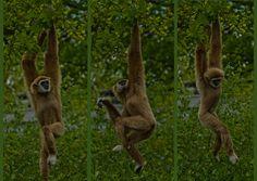 i feel like dancing - whitehand gibbon @ dierenpark emmen by Donna Da Yettta - @work & study, via Flickr
