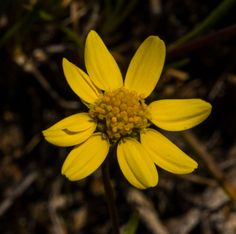 Goldfields, Crocidium multicaule, bloom at Whychus Canyon Preserve in April and May. Some our first wildflowers of the spring! Photo: Kris Kristovich.