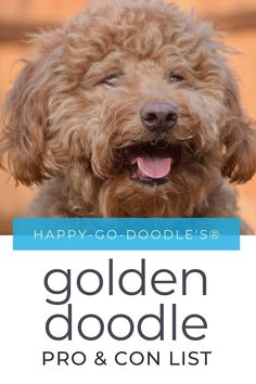 Wondering if a Goldendoodle is the perfect fit for you? Here is everything you need to know about Goldendoodles. We've even created a  list of pros, cons, and tips so you'll know what you can expect when you add a Goldendoodle to your pack. #goldendoodle Huge Teddy Bears, Teddy Bear Dog, Goldendoodle Grooming, Labradoodle, Low Shedding Dogs, Poodle Mix Breeds, Puppy Training Classes, Doodle Dog, Goldendoodles