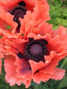 Papaver orientale 'Garden Glory'