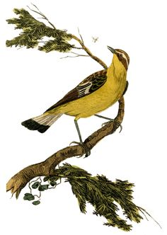 historical prints | Instant Art Printable - Natural History - Yellow Bird - The Graphics ...