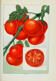 Tomato vintage illustration