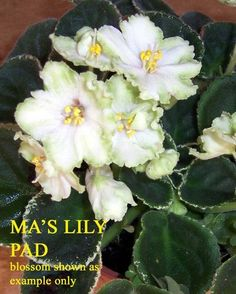 MA'S LILY PAD ~ African Violet   (O. Robinson) (9384) 10/15/2004 Single semi-double white star/wide green edge.  Variegated light medium green and white, ovate, quilted.  Standard