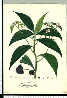 El proyecto de Dibujos de la Real Expedición Botánica del Nuevo Reino de Granada (1783-1816) dirigida por José Celestino Mutis (Real Jardín Botánico CSIC)
