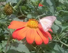 Girassol mexicano e sua borboleta...