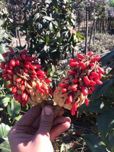 Magnolia grandiflora seeds/ Manolya tohumları.