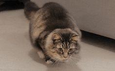 Wiggle Cat (gif)