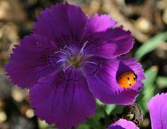 Love this ladybug on the purple flower