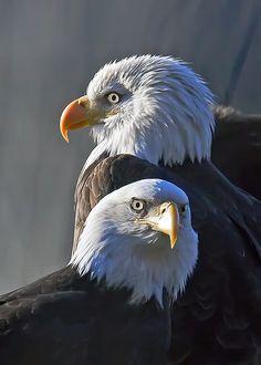 """our-amazing-world: """" Beautiful Eagles Amazing World beautiful amazing """" Birds Of Prey, All Birds, Beautiful Birds, Animals Beautiful, Cute Animals, Eagle Pictures, Animal Pictures, Mundo Animal, Big Bird"""