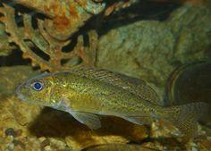 Ruffe (Gymnocephalus cernuus)   Flickr - Photo Sharing!
