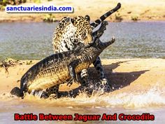 Hi Friends! Watch This Video. Battle Between Jaguar And Crocodile.